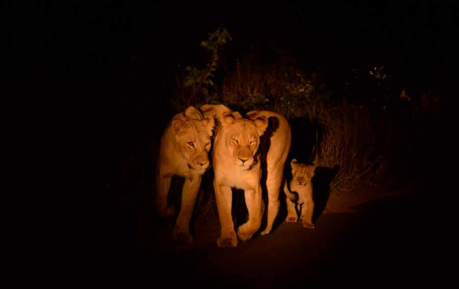 Lions on night safari