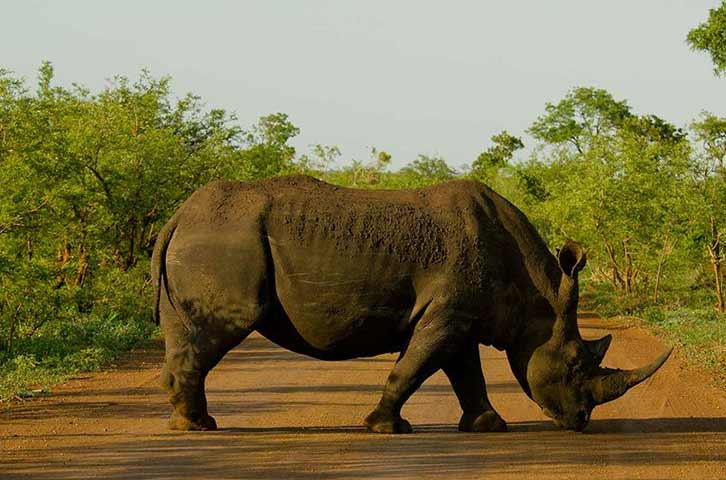 The endangered white rhino on safari