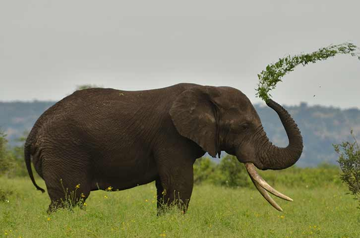 Playful elephant in the Kruger National Park
