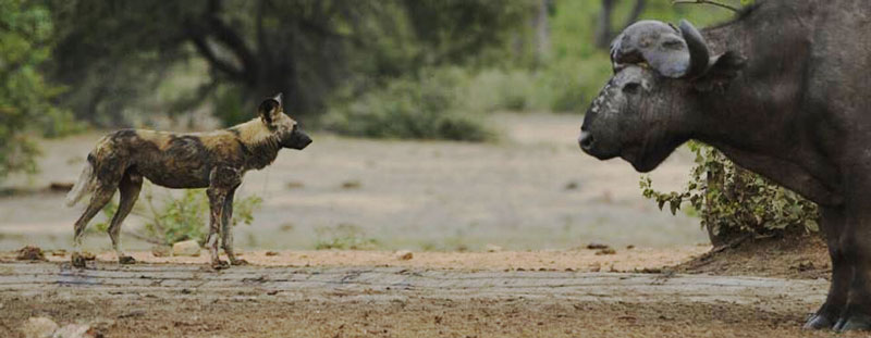Wild Dog and Buffalo
