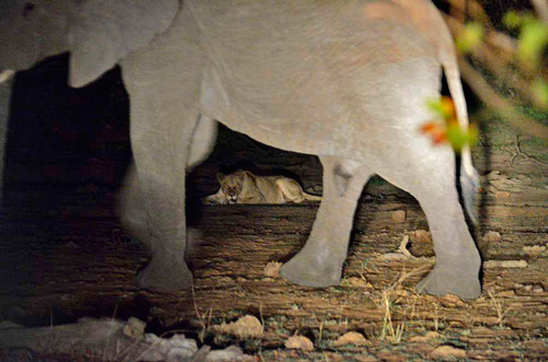 Lion and elephant on night safari