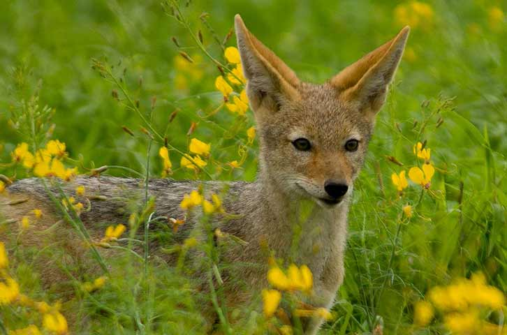 Young jackal on safari